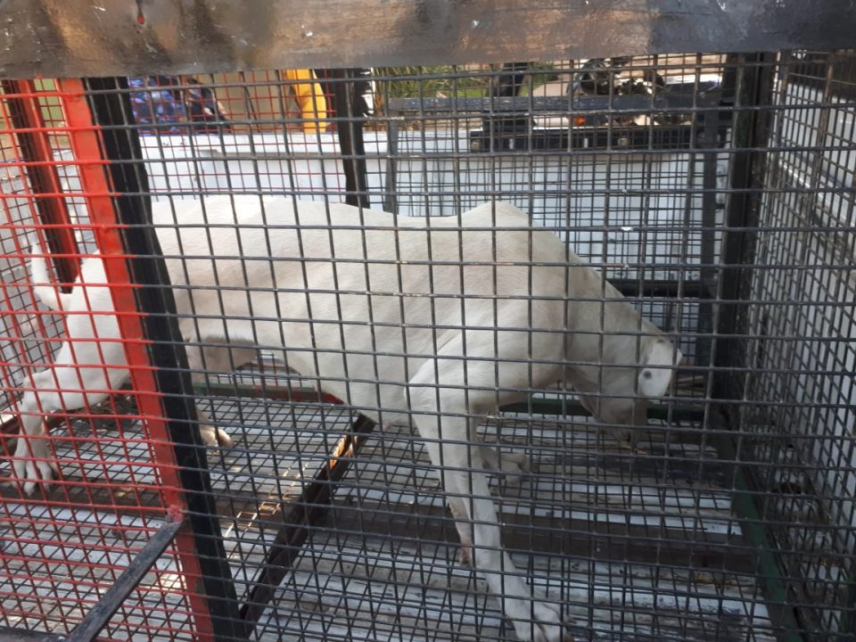 Secuestro de Dogo Argentino en un allanamiento en Barrio Portales del Sol