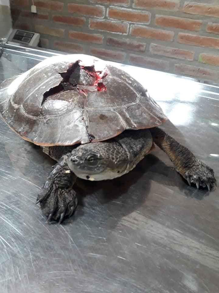La tortuga corre riesgo de vida