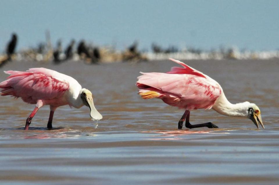 Espátulas rosadas en las costas del Mar de Ansenuza