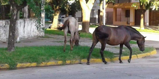 Denuncian la presencia de caballos sueltos en barrio Villa Camiares. Se trata de varios animales que ingresan a los terrenos de los vecinos, y de los cuales, no se conocen los dueños.