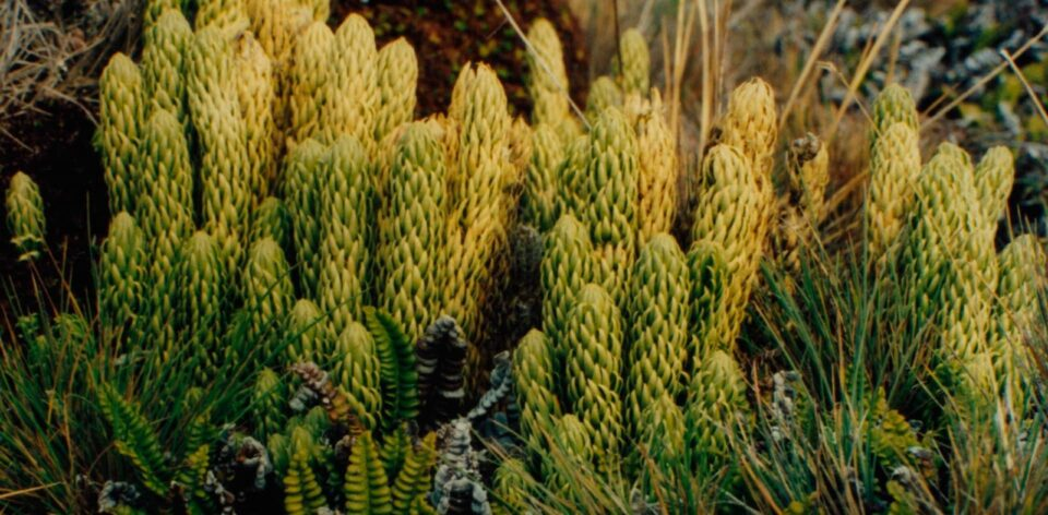 Comprueban los poderes afrodisíacos de plantas autóctonas