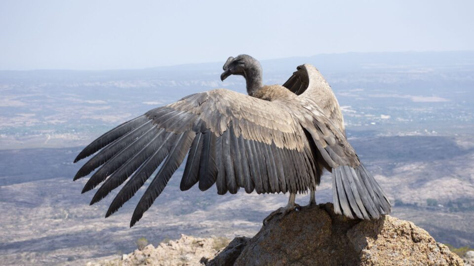 Un cóndor andino vuela nuevamente por las sierras de Córdoba