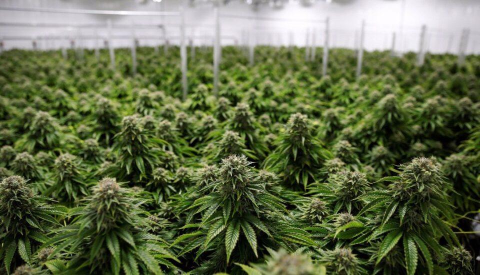 Autorizaron el autocultivo de cannabis para uso medicinal